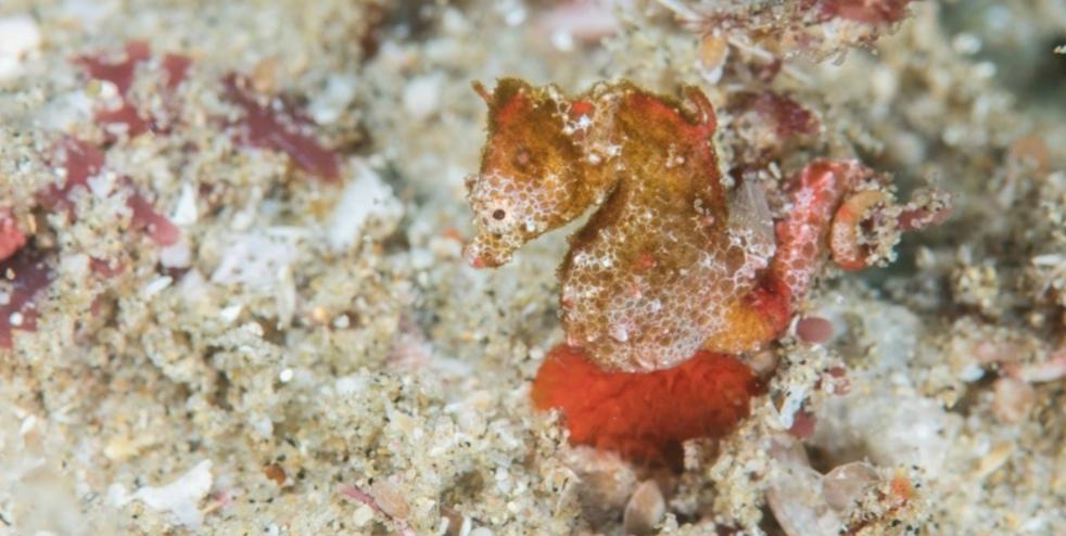 SA's first pygmy seahorse species found on KZN coast - TimesLIVE