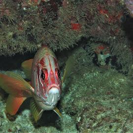 by Phil Bear - Animals Fish ( reef, coral, fish, squirrelfish, coral reef, maldives )