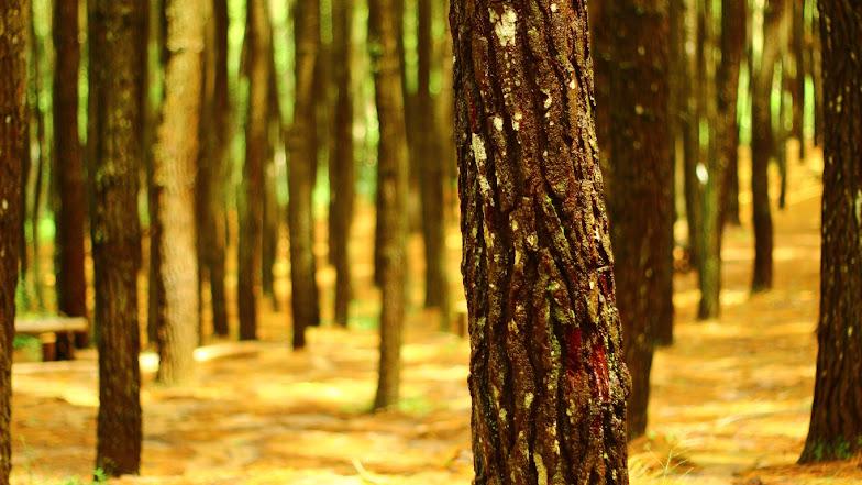 salah satu pohon pinus