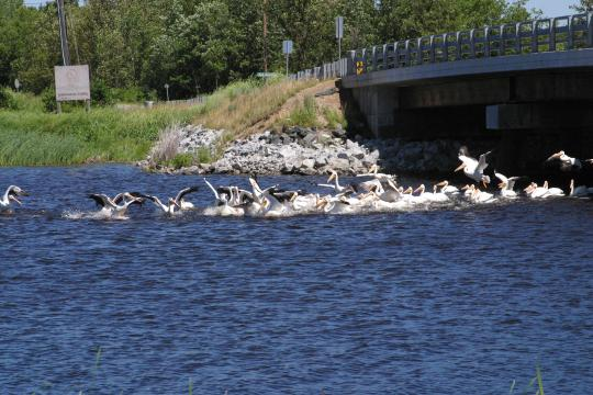 Photo: Flock of pelicans landing on Lake of the Woods