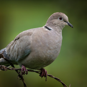 Eurasian collared dove by Jim Keating - Animals Birds ( bird, eurasian collared dove, barbed wire, gray, dove,  )