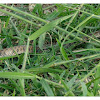 Checkered Keelback snake 漁游蛇