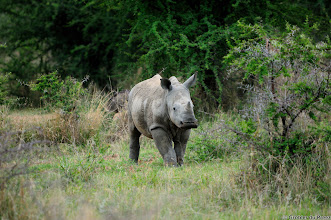 Photo: White Rhino calf, Marakele national Park, South Africa.