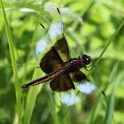Widow Skimmer (Juvenile Male)