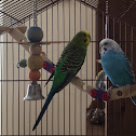 Tweety and greeny the parakeets