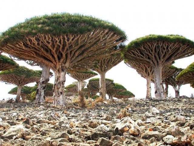 Сокотра, Йемен.