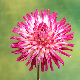 Spiked Red Dahlia by Jim Downey - Flowers Single Flower ( red, green, white, dahlia, spiked )