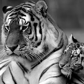 Mummy and cub by Gérard CHATENET - Black & White Animals