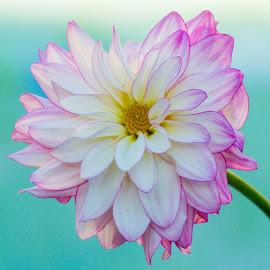 Post St Santa Cruz Dahlia pink white on green by Kathy Eder - Flowers Single Flower (  )