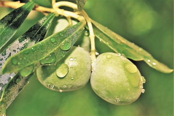 Green olives di ScrofaniRosaria