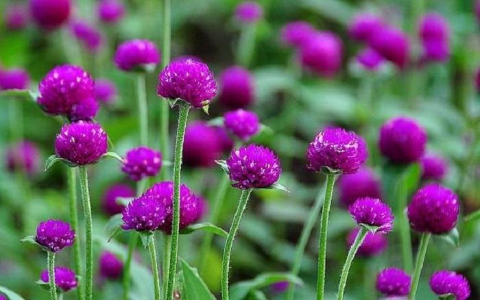 Hoa cúc áo