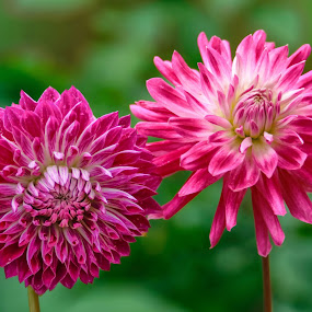 Pink and magenta Dahlias by Jim Downey - Flowers Flower Gardens ( magenta, pink, green, yellow, dahlias )