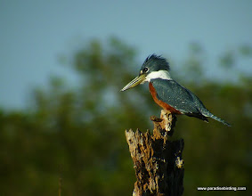 Photo: Ringed Kingfisher; Rancho Primavera, outside Tuito, Jalisco