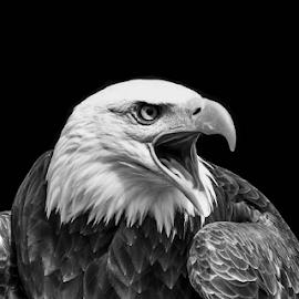 Sam by Garry Chisholm - Black & White Animals ( raptor, bird of prey, nature, bald eagle, garry chisholm )