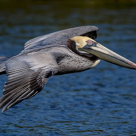 Pelican in Flight by Debbie Quick - Animals Birds ( debbie quick, outdoors, nature, florida, bird, pelican, animal, wild, debs creative images, water, wildlife )