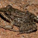 Butter Frog / Rã-Manteiga