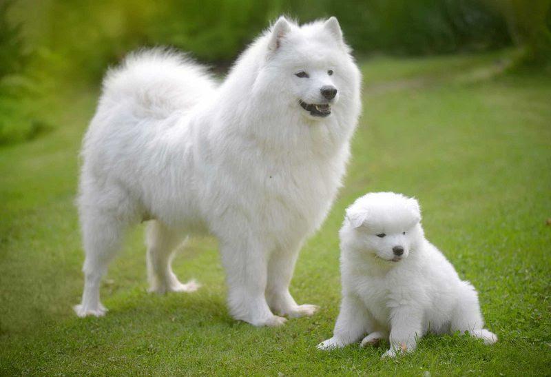 Harga anjing Samoyed. Harga jual-beli anak anjing Samoyed di Indonesia