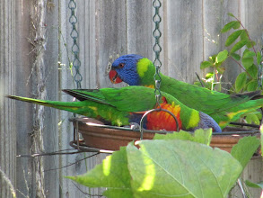 Photo: Year 2 Day 169 - Lorikeets in the Garden