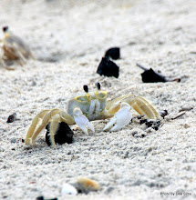 Photo: (Year 3) Day 123 - Crab Looking for Food #2
