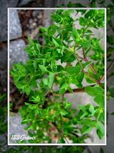 Photo: Euphorbe droite, Euphorbia stricta