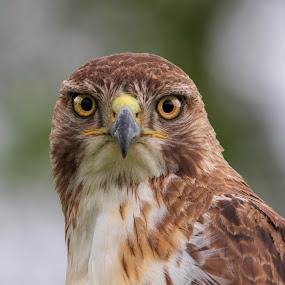 Focus by Kym George - Animals Birds ( #bird, #raptor, #redtailed, #juvenilehawk, #hawk,  )