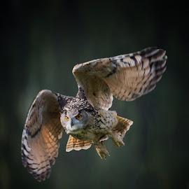 The Heart of an Eagle  by Phil Robson - Animals Birds ( raptor, bird of prey, owl, eagle owl, hunter )