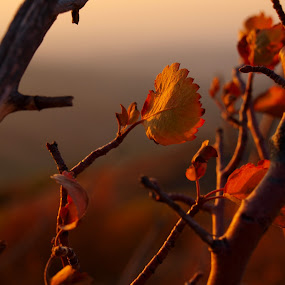The Last Bask by Vanessa Latrimurti - Nature Up Close Leaves & Grasses ( warm, sunset, colorado, leaf )