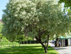 Photo: Árbol del paraíso (Eleagnus angustifolia)
