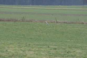 Photo: Grey Heron (Graureiher); Reinhardtsdorf, DE