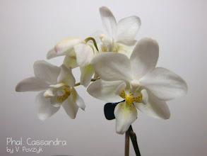 Photo: Phal. Cassandra