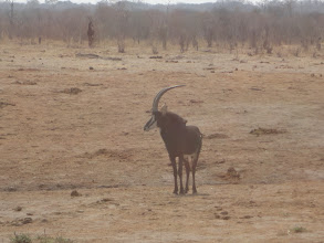 Photo: Sable horns are really cool.