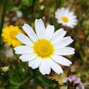 Crown Daisy