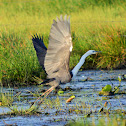 White-necked or Pacific Heron