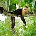 Capuchino (Colombian white-faced capuchin)