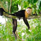 Capuchino (Colombian white-faced capuchin)