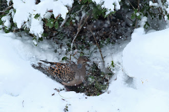 Photo: 撮影者:清水盛通 キジバト タイトル:雪の中で喰む 観察年月日:2014.02.14 羽数:1羽 場所:八王子市下恩方町 区分:行動 メッシュ:拝島0A コメント:降りしきる雪の中、地面の露出した木の陰で餌を啄んでいました。鳥にとっては試練となる降雪です。
