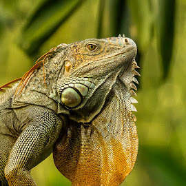 Iguana & The Setting Sun by Abhishek Singh - Animals Reptiles