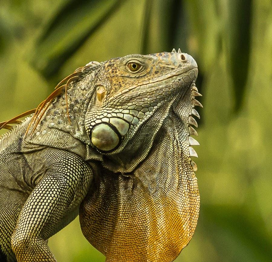 Iguana & The Setting Sun by Abhishek Singh - Animals Reptiles