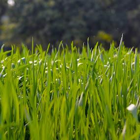 Green Field Up Close by Khawaja Hamza - Nature Up Close Leaves & Grasses ( grass, fresh, green, crop )