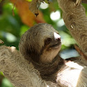 Three-fingered Sloth (Brown-throated Sloth)