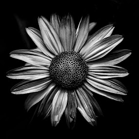 Backyard Flowers In Black And White 18 by Brian Carson - Black & White Flowers & Plants ( plant, nobody, detail, unique, monochrome, single, brian carson, black and white, toronto, one, round, beauty, vibrant, leaf, spring, blossom, close, contrast, macro, nature, fresh, dark, the learning curve photography, bunch, backyard, light, closeup, flower, black, petal, abstract, wild, canada, decoration, flora, black & white, beautiful, art, white, bloom, pattern, season, grown, delicate, background, outdoor, summer, garden, floral, www.thelearningcurve.ca, growth,  )