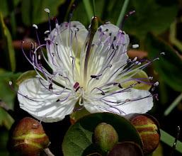 Photo: Capparis spinosa (cappero)