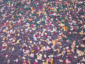 Photo: Project 365 Day 318-Natural Confetti  The fallen leaves on the ground outside my office building remind me of confetti