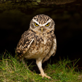 What Do You Want ? by Russell Mander - Animals Birds ( small, owl, big eyes, mean look, lives in burrows )