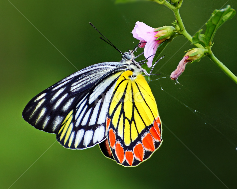 The Colourful Beauty by Savio Sanches - Animals Insects & Spiders ( butterfly, colourful, nature, common jezebel, insects, , animal, butterfy )