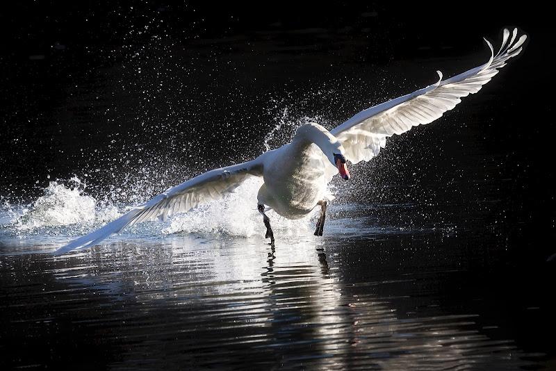 The Swan di maurizio_varisco