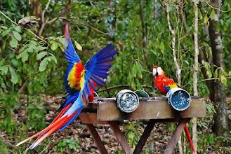 Photo: Hellrote Aras (Ara macao, Scarlet Macaw) an einer Futterstelle im Ruinenfeld von Copán.