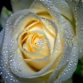 Shiny white rose by Norbertus Andreanto Photos - Nature Up Close Flowers - 2011-2013 ( rose, white, flower )
