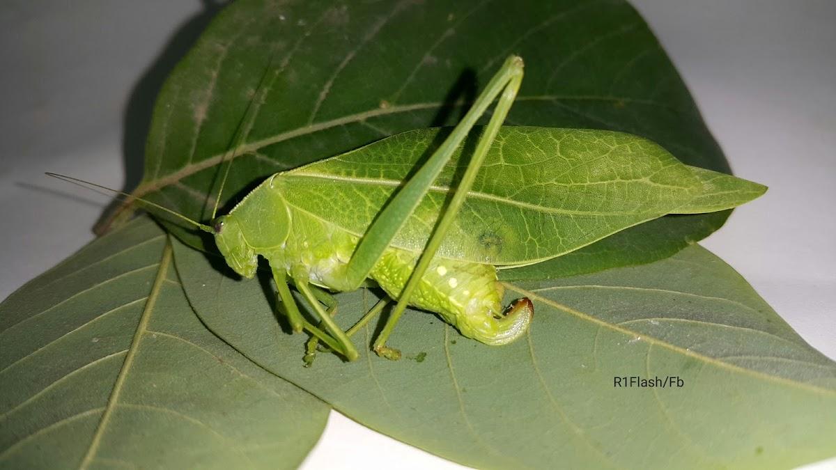Leaf bug - katydid
