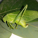 Leaf bug - katydid